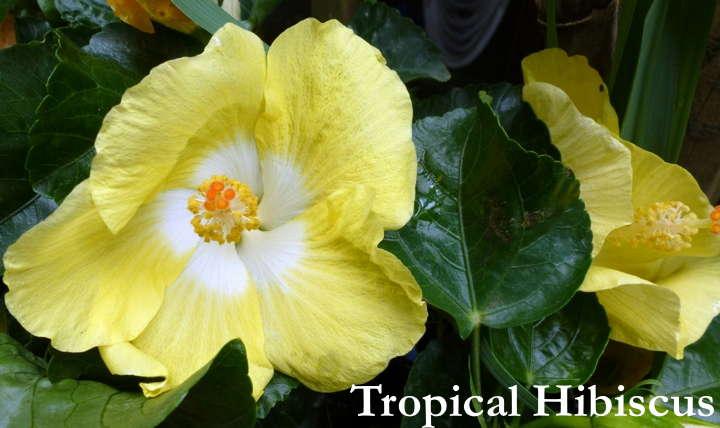 Year Round Hibiscus